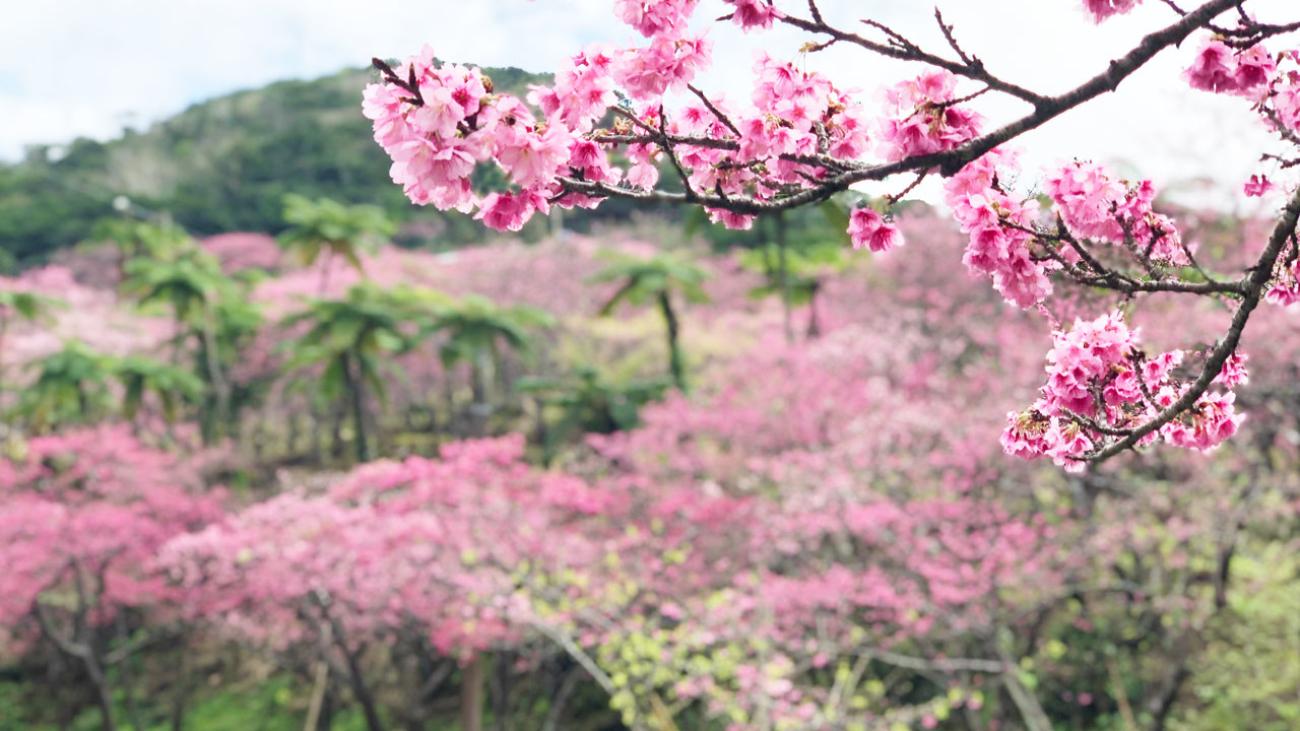 八重岳桜まつり2020