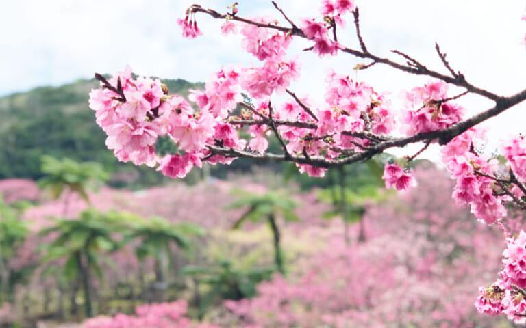 第43回本部八重岳桜まつり